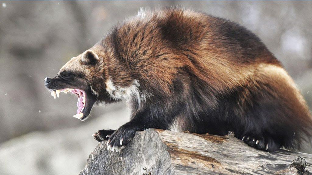 Самые агрессивные животные в мире! топ 10