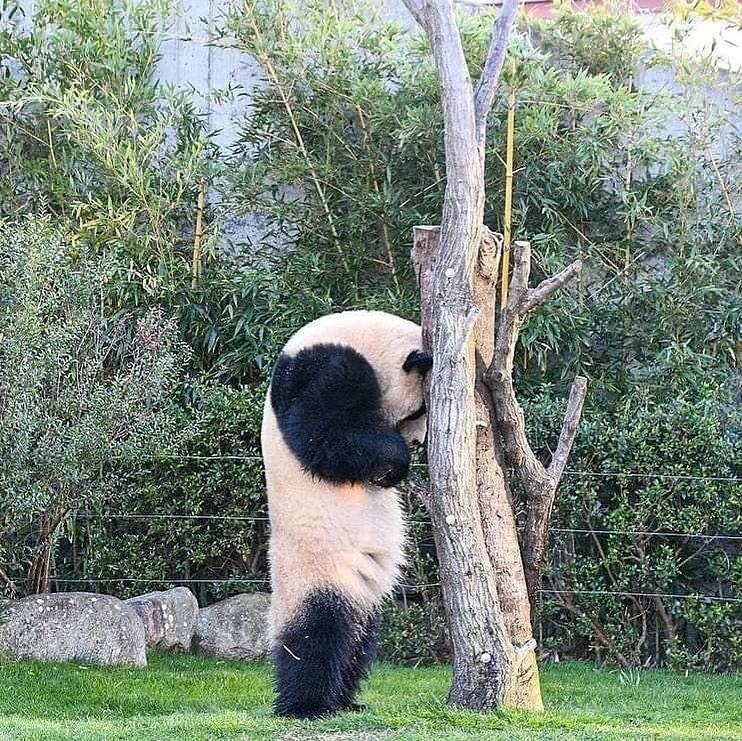 Обиженная панда