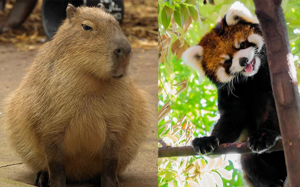 Капибара и Красная панда