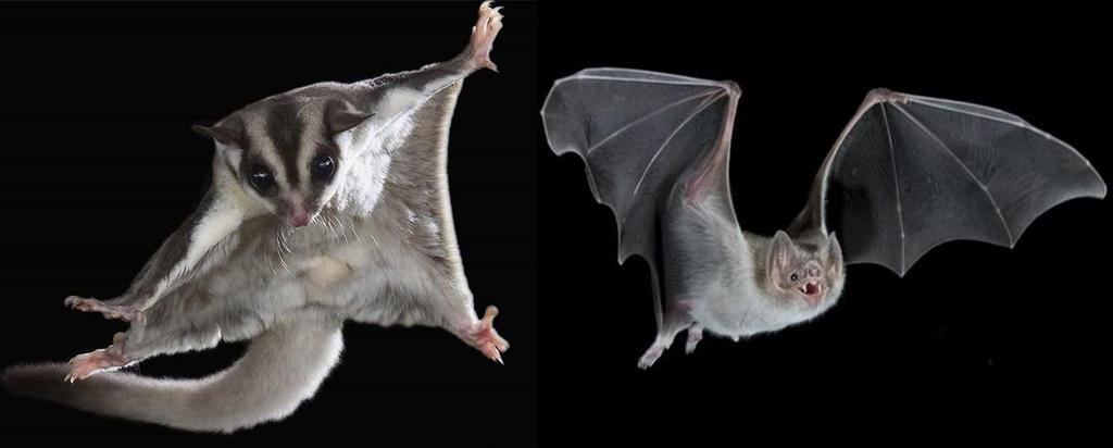Сахарная сумчатая летяга и Летучая мышь