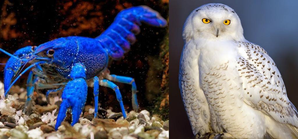 Флоридский синий рак и Белая сова