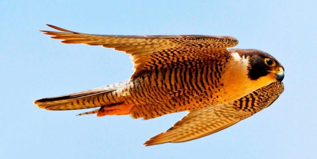 самая быстрая птица в мире