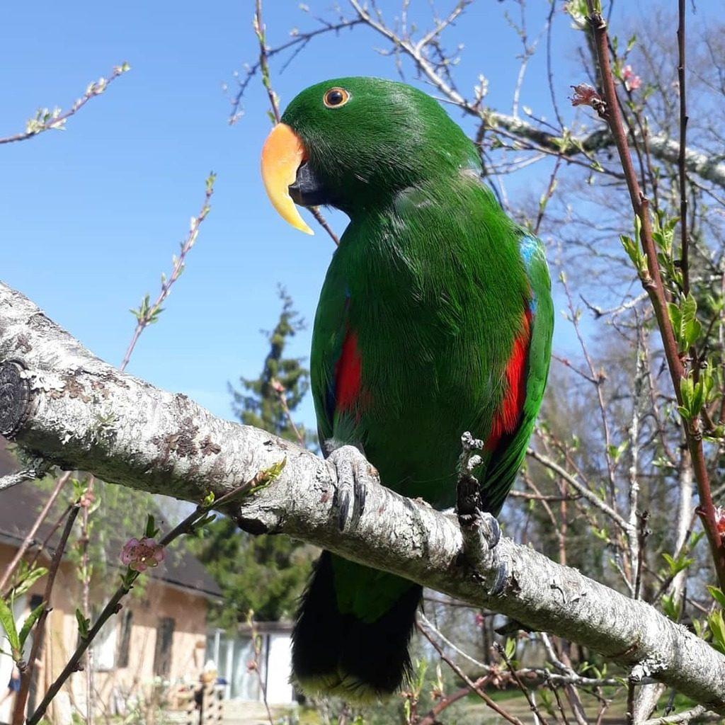 Благородный зелёный попугай
