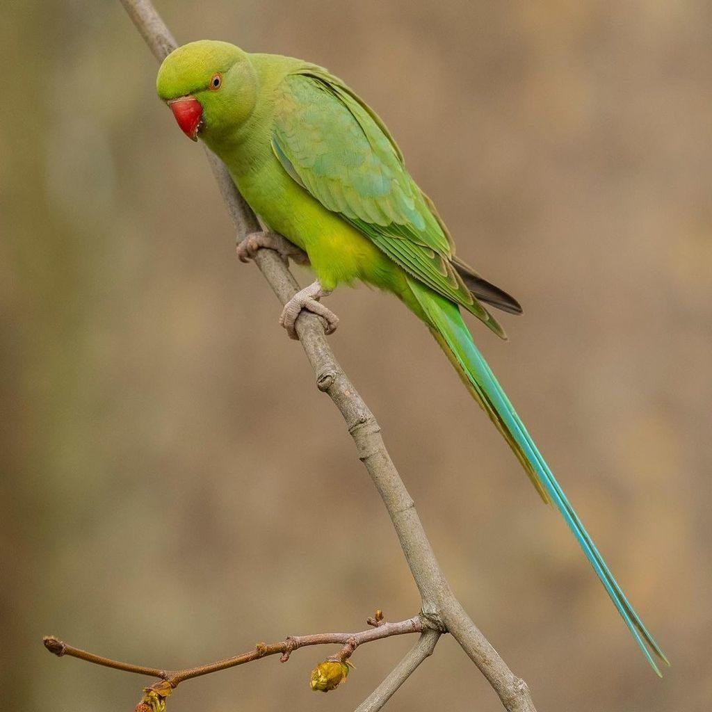 Длиннохвостый попугай