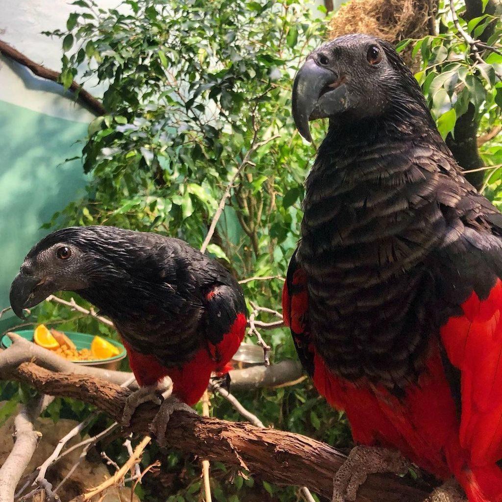Орлиный или грифовый попугай