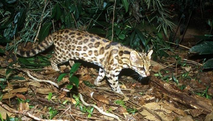 Южная тигровая кошка