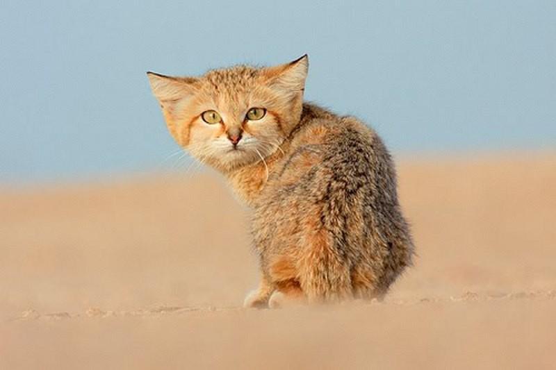Рейтинг самых маленьких диких кошек
