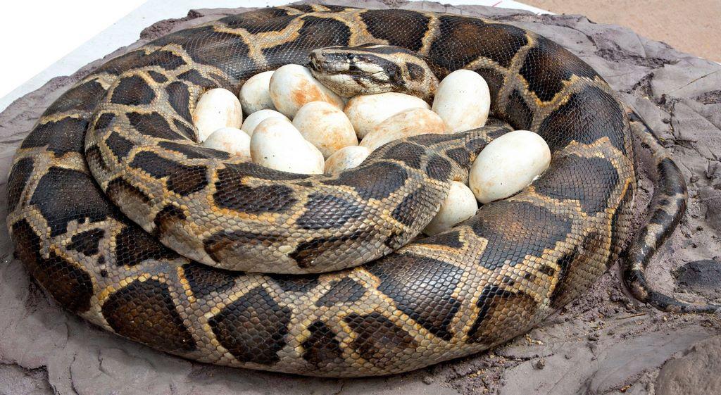 Анаконда с яйцами