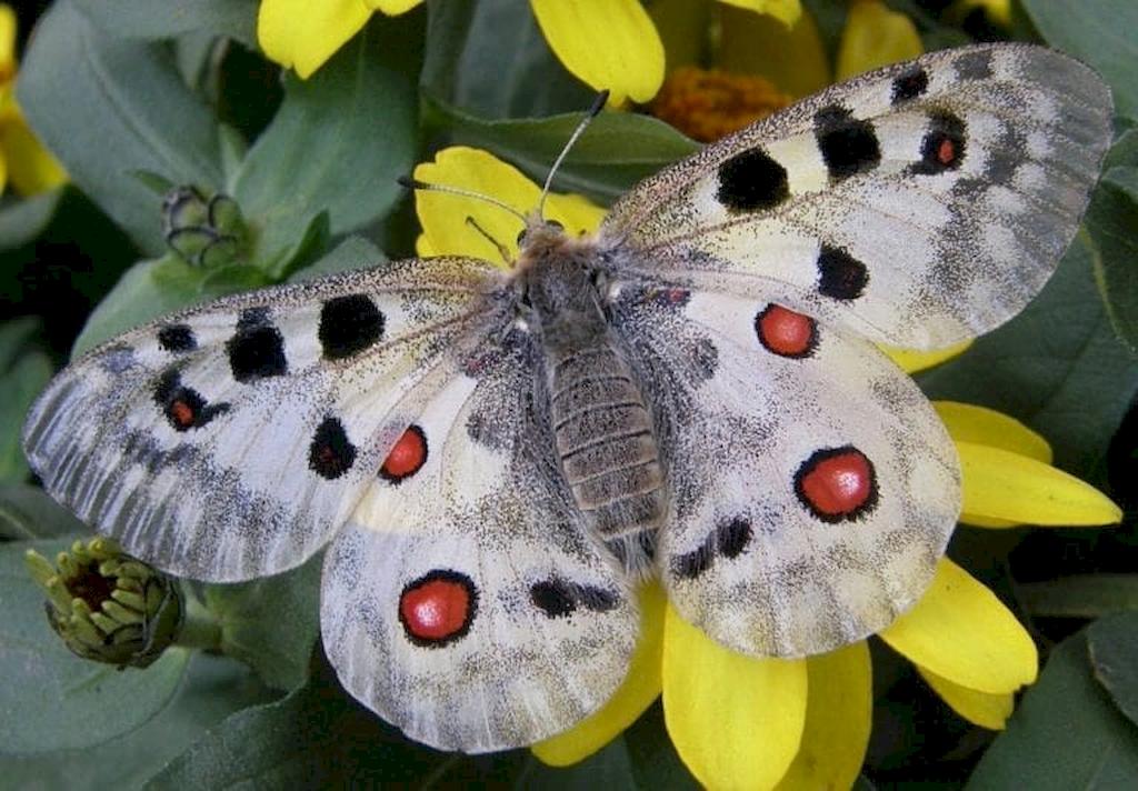 Аполлон бабочка