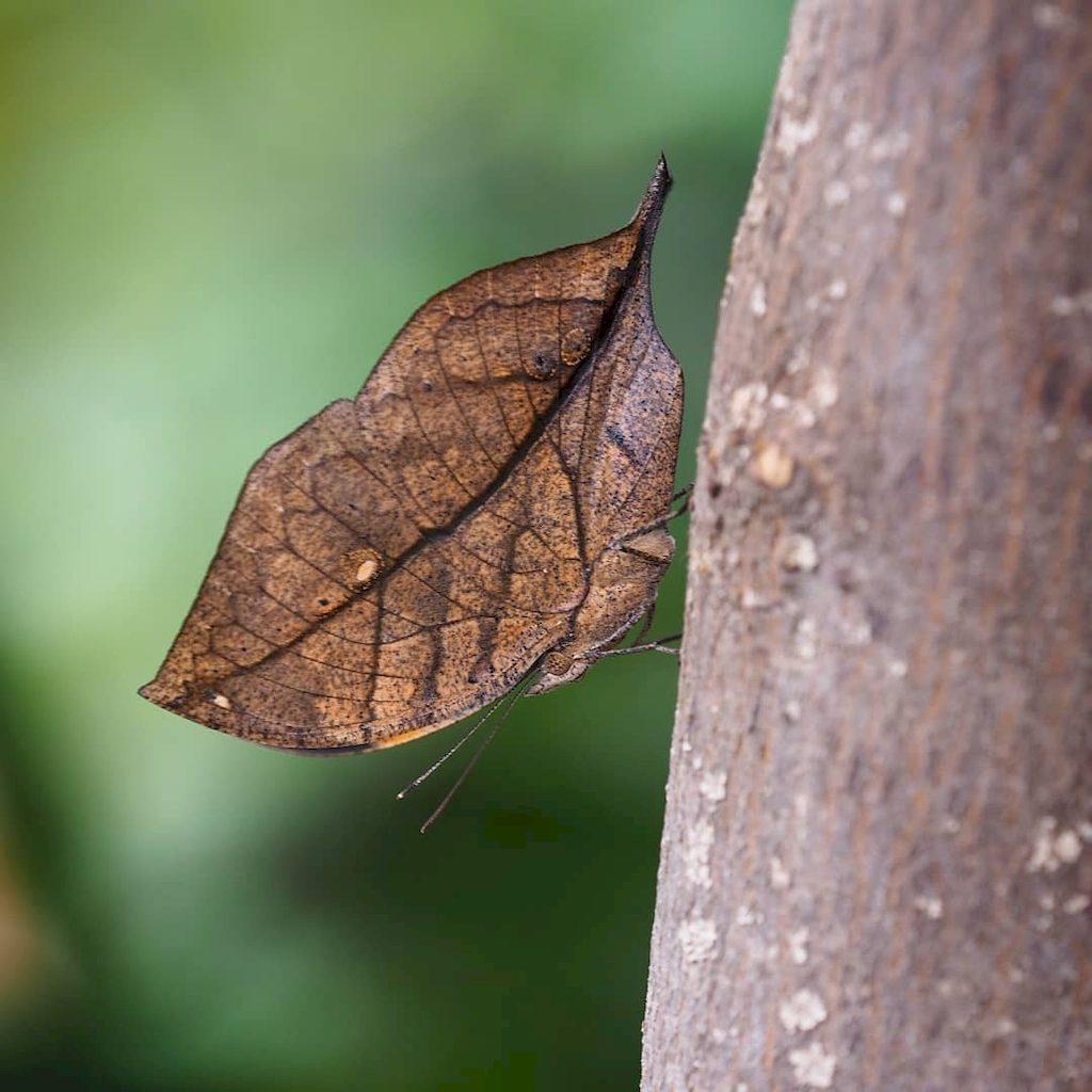 Бабочка-листовидка (Калима)