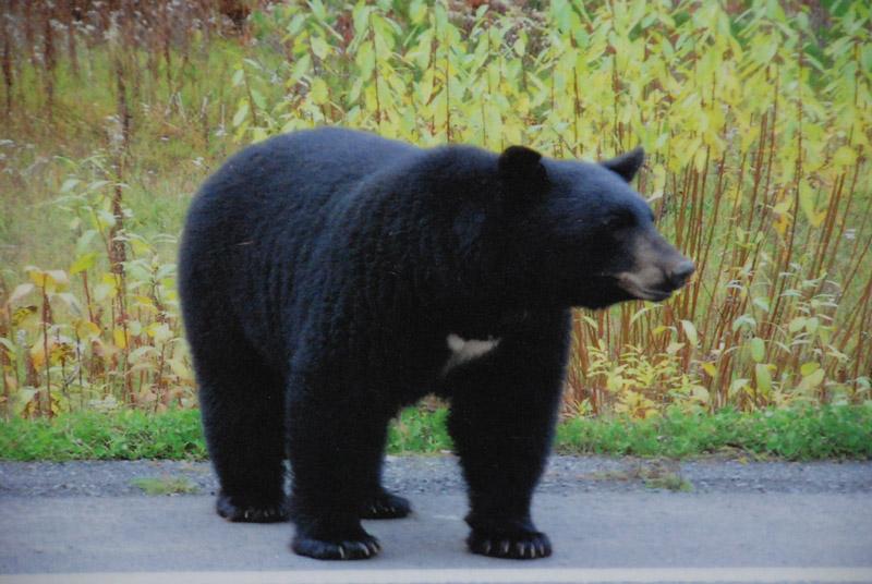 большой черный медведь