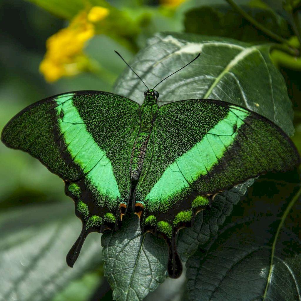 Изумрудная бабочка