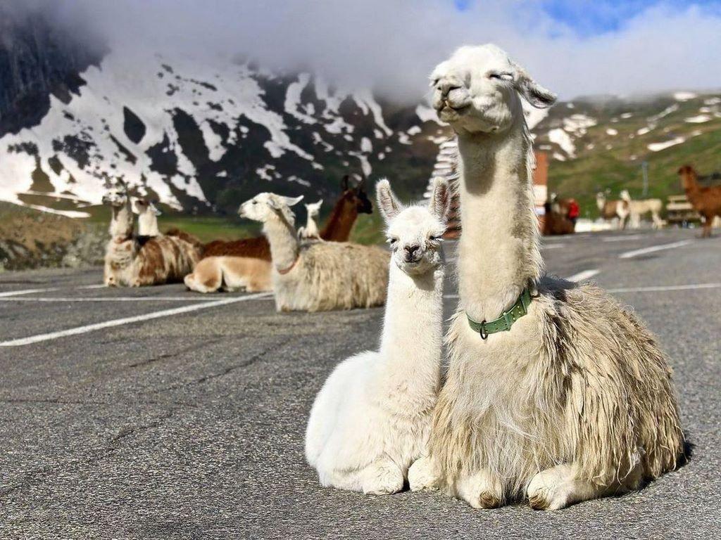 Ламы на солнышке