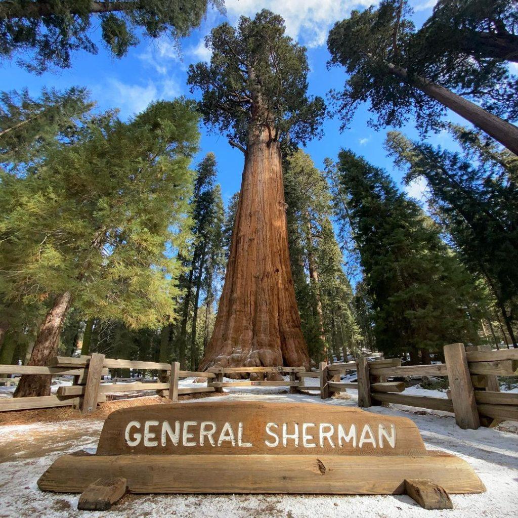 одно из самых больших деревьев в мире