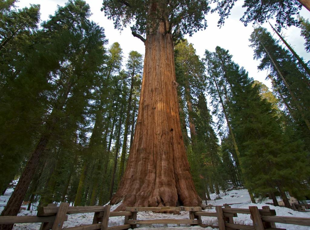 Секвойя Парадокс гигантские деревья