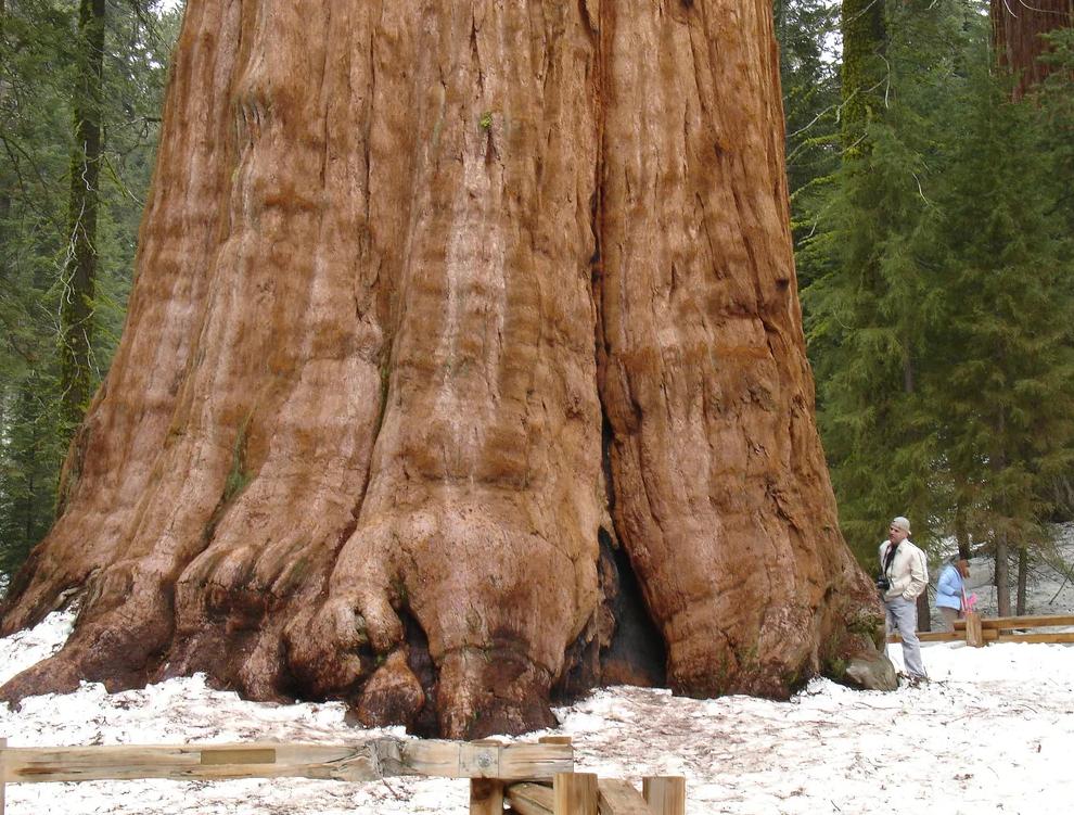 Секвойя Рокфеллер самое толстое дерево в мире