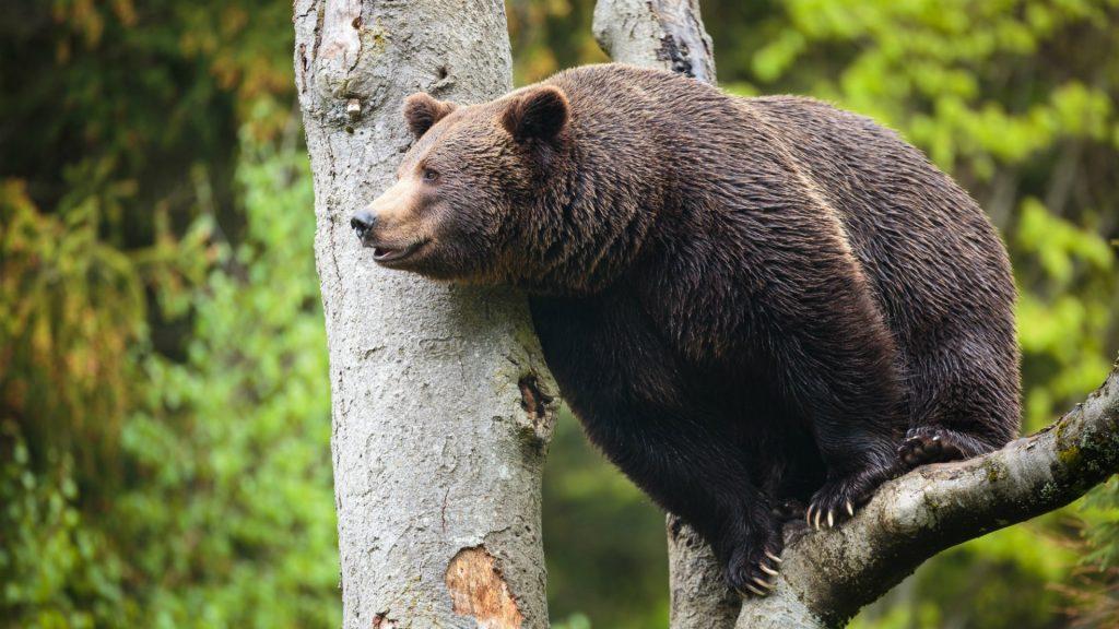самый большой медведь Сибири