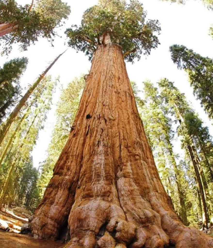 Стратосферный гигант топ самых огромных деревьев в мире