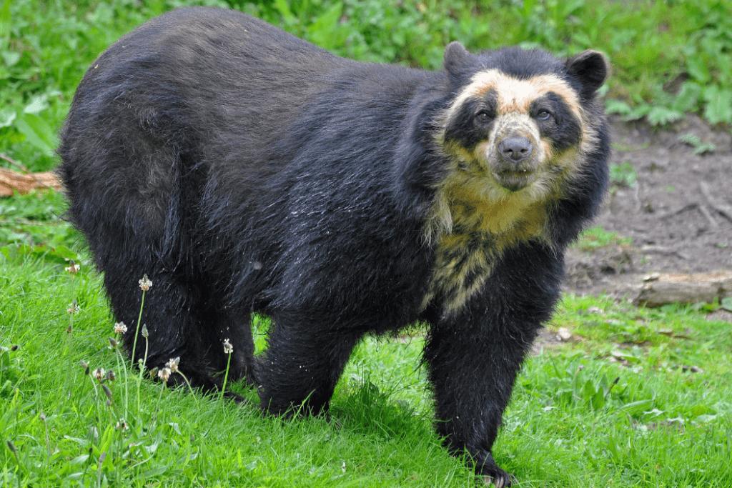 Самые большие медведи в мире!