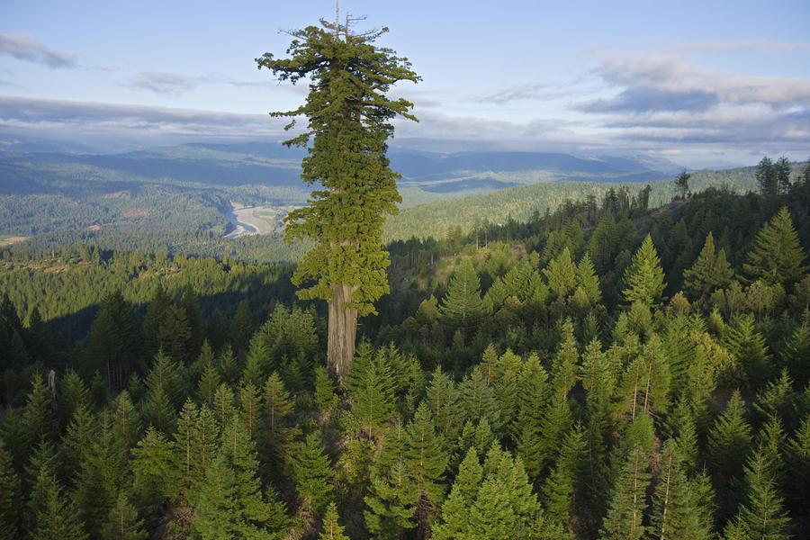 Самые высокие деревья в мире на 2021 год.