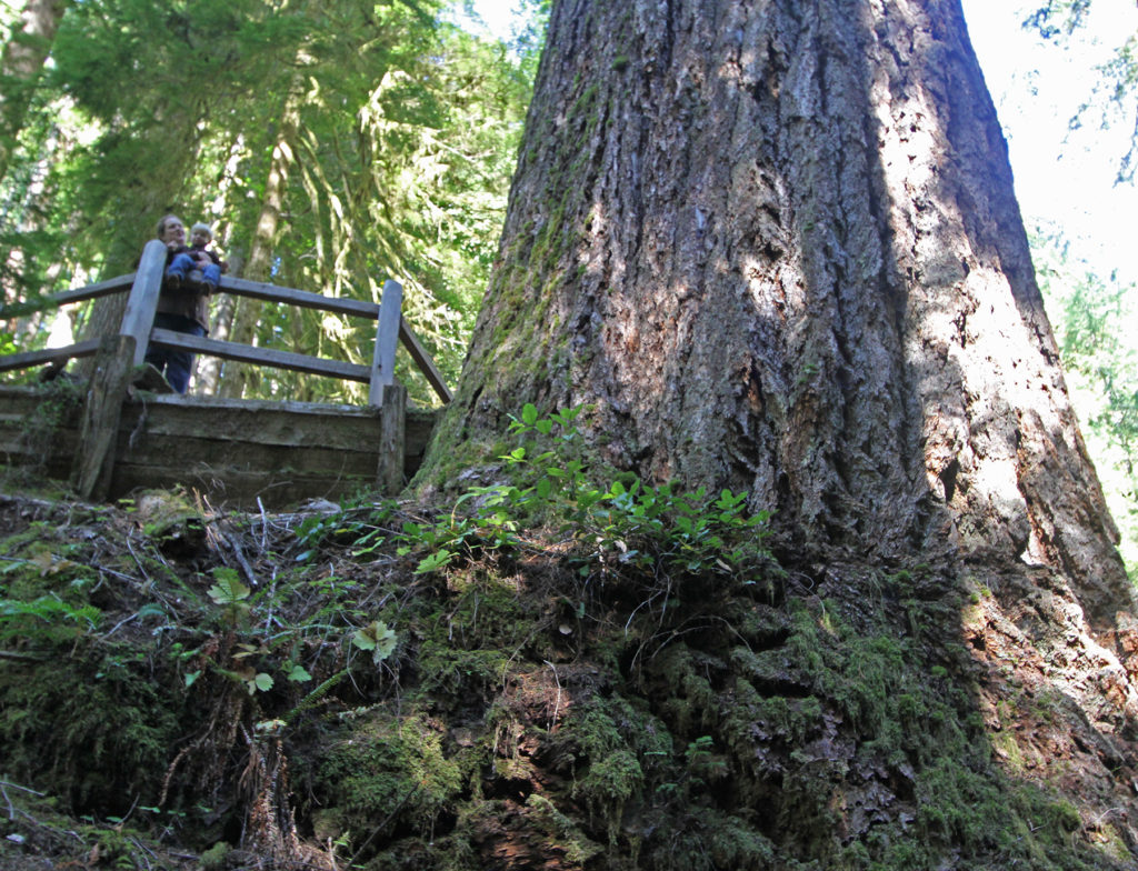 Пихта Дёрнера самое высокое дерево в мире