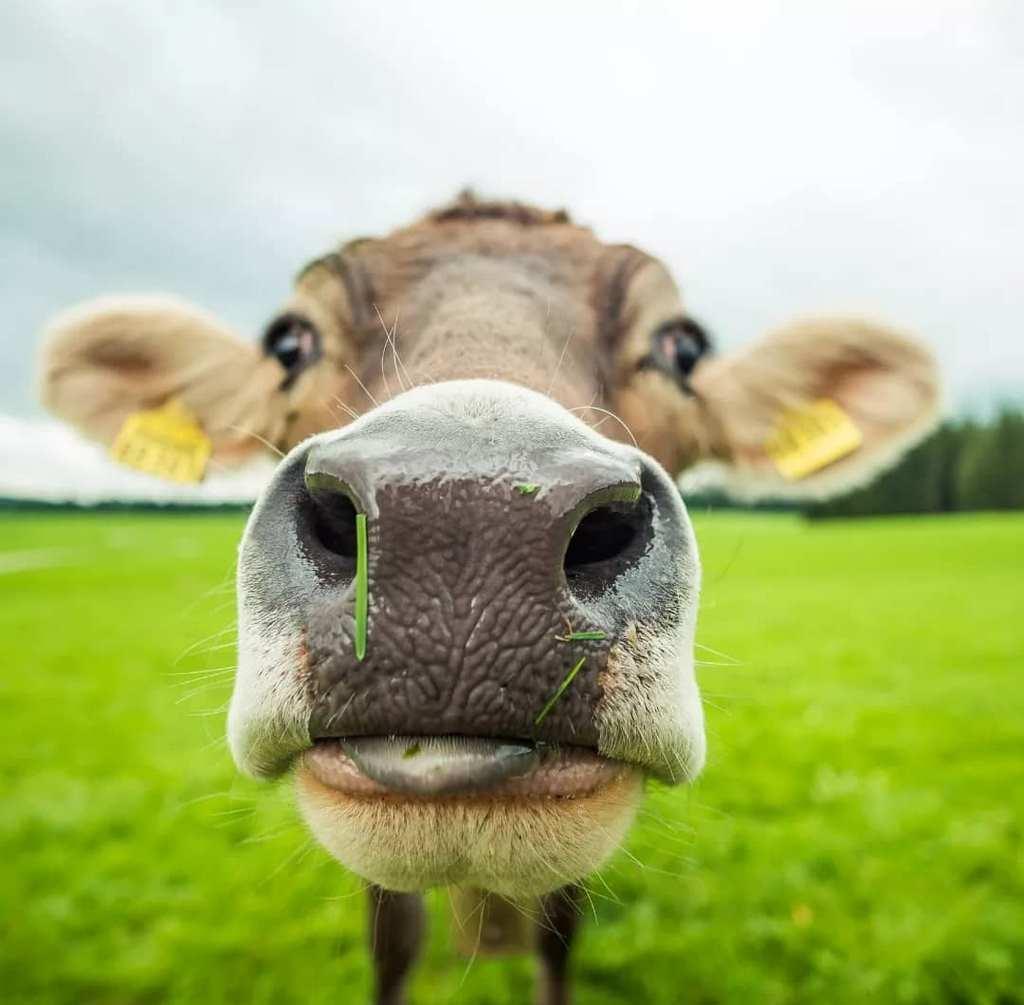 Откуда появилось название «говядина»?