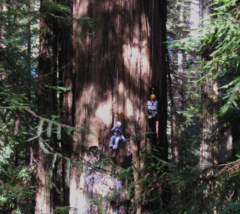 Гелиос  рейтинг самых высоких деревьев
