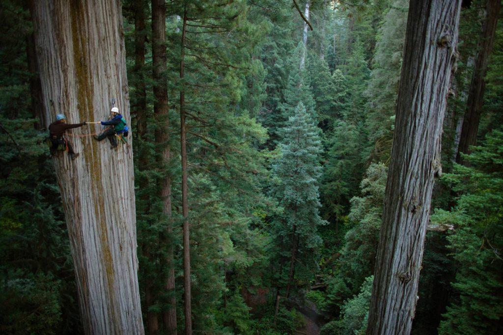 Самое высокое дерево в мире Гиперион