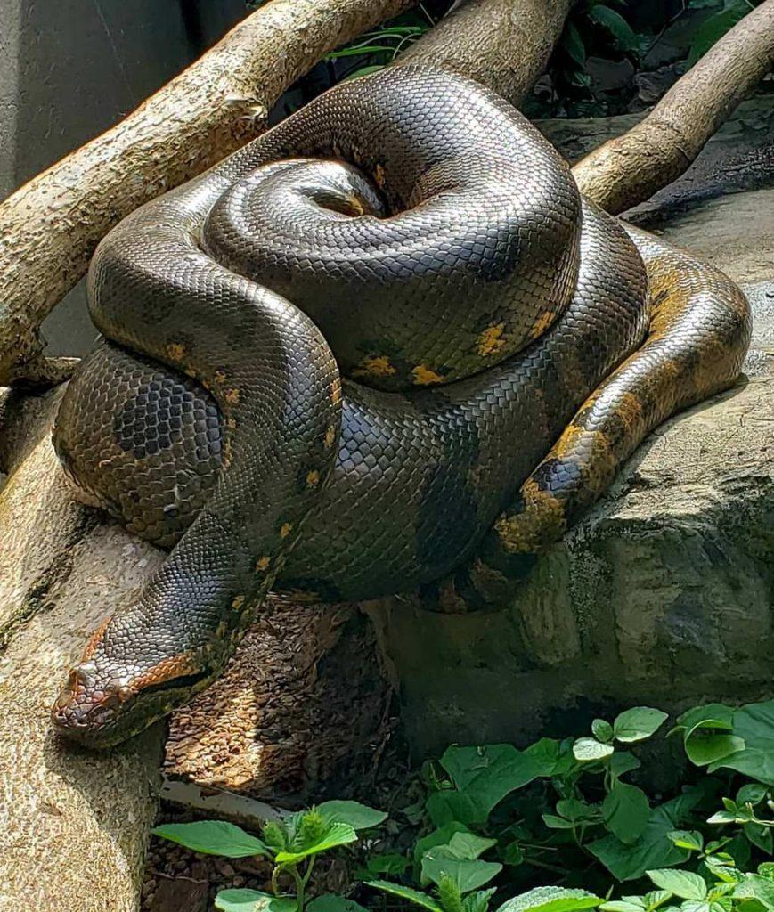 Змея анаконда, интересные факты