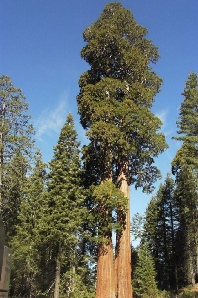 топ высоких деревьев на земле
