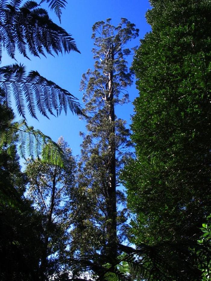самое высокое дерево в Тасмании