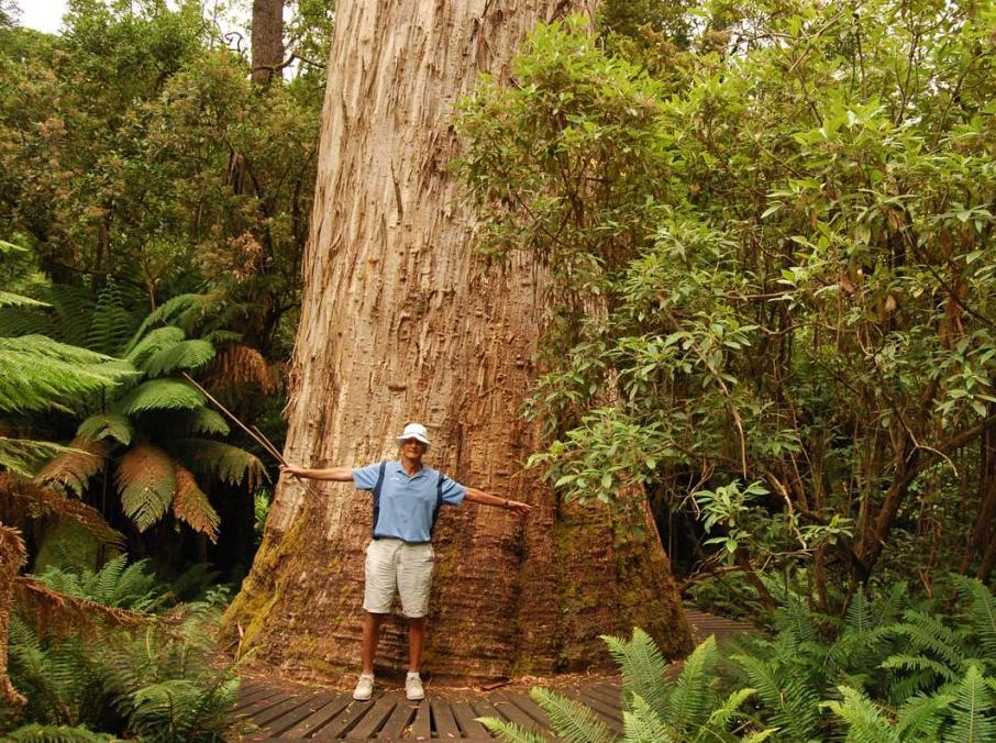 самое высокое дерево в мире Сэр Вим