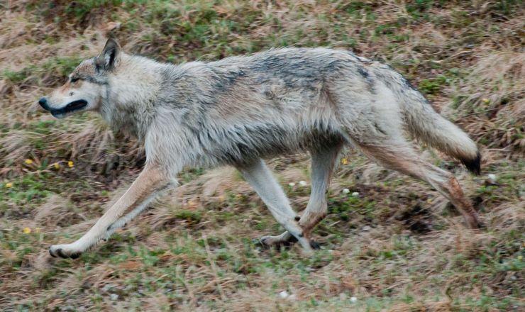Аляскинский (Юконский) Волк