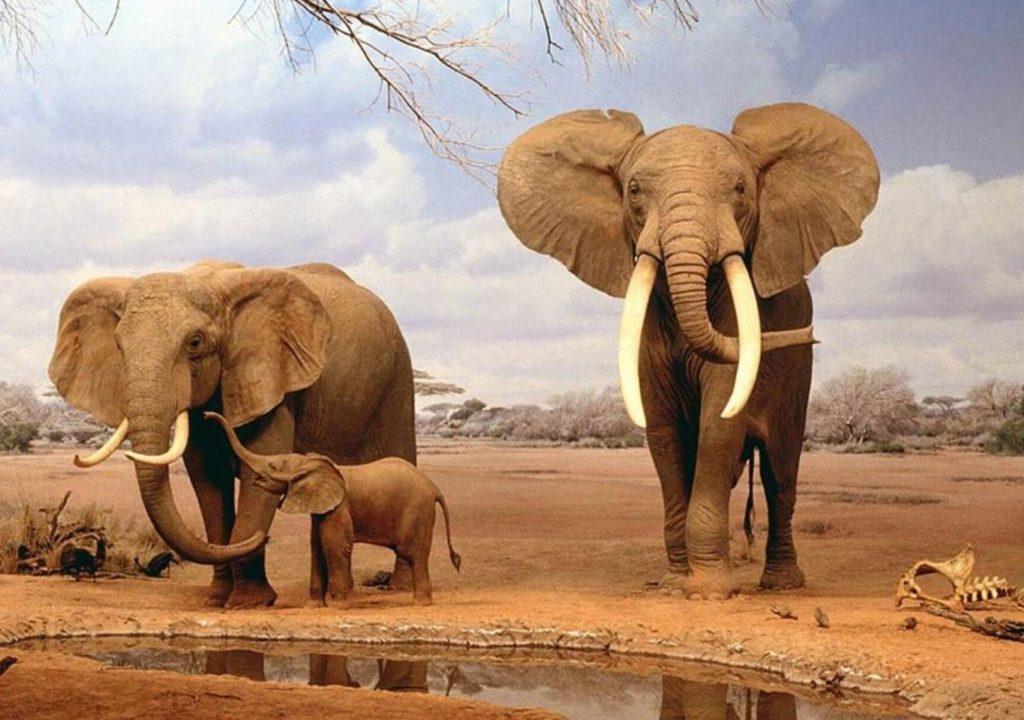 топ больших слонов Африканский слон