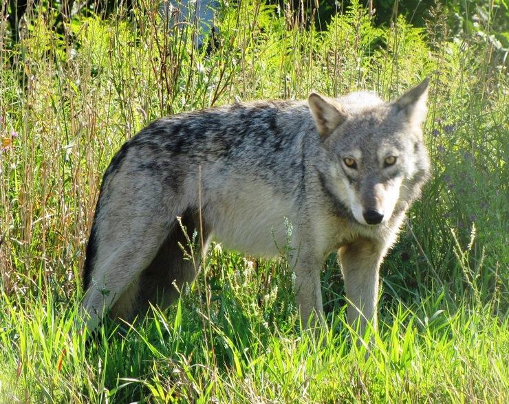 Волк Великих равнин