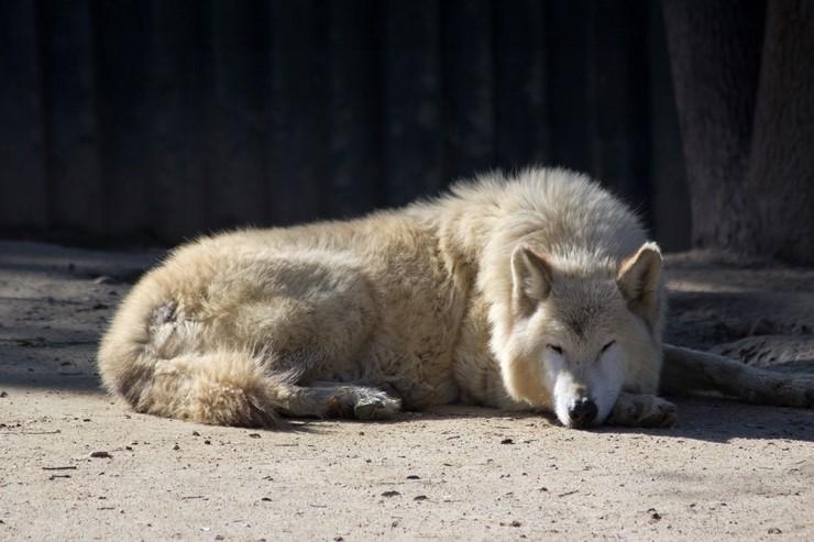 Волк Долины Маккензи