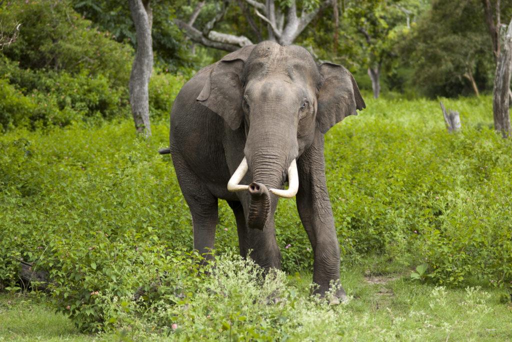 самый тяжелый слон