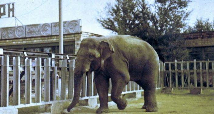 самый известный слон