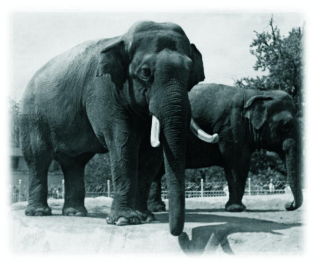 Слон переживший вторую мировую войну