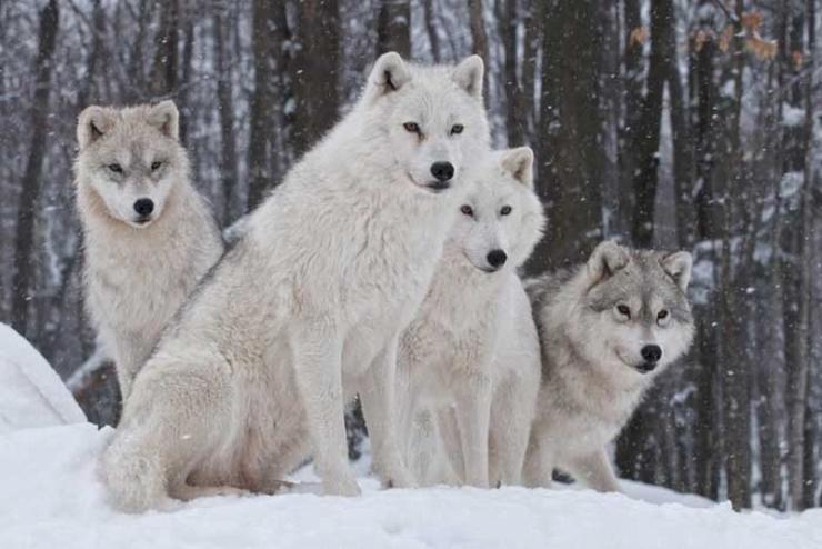 Тундровый волк