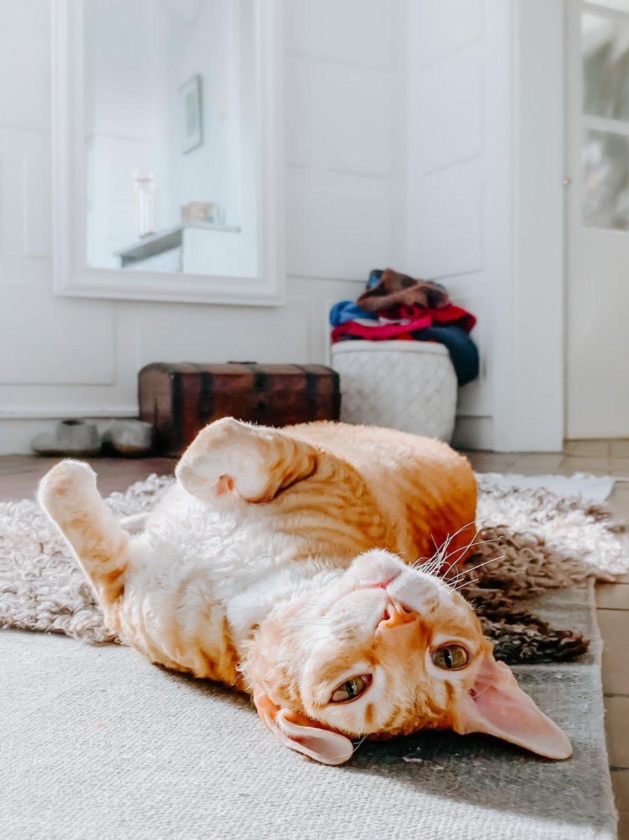 Породы кошек для аллергиков