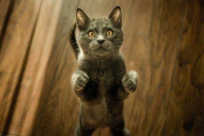 Сырое мясо в рационе кошек