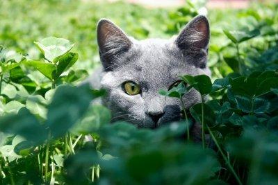 Кошачья мята и как она влияет на кошек