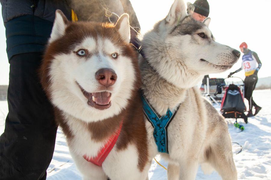 Спринтеры-симпатяги: гонки на собачьих упряжках