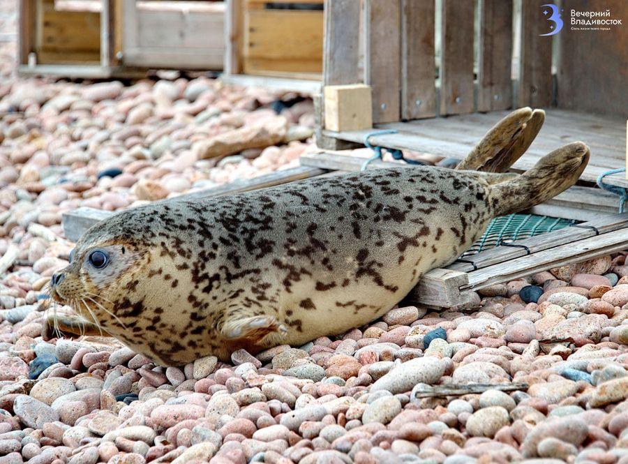 Великолепная шестерка Пятнадцатый год подряд Лора Белоиван выпускает на свободу спасенных тюленей