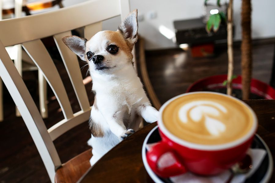 Обзор dog-friendly заведений от звёздного чихуахуа Фунтика