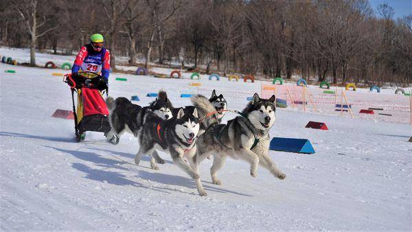 Гонки на собачьих упряжках состоятся в Приморье в выходные