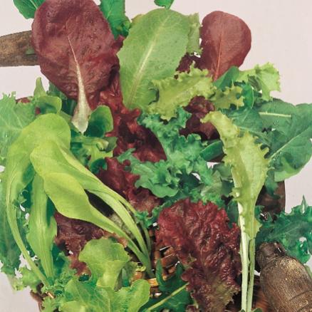 салат тип листовойМИСТИКАНЦА