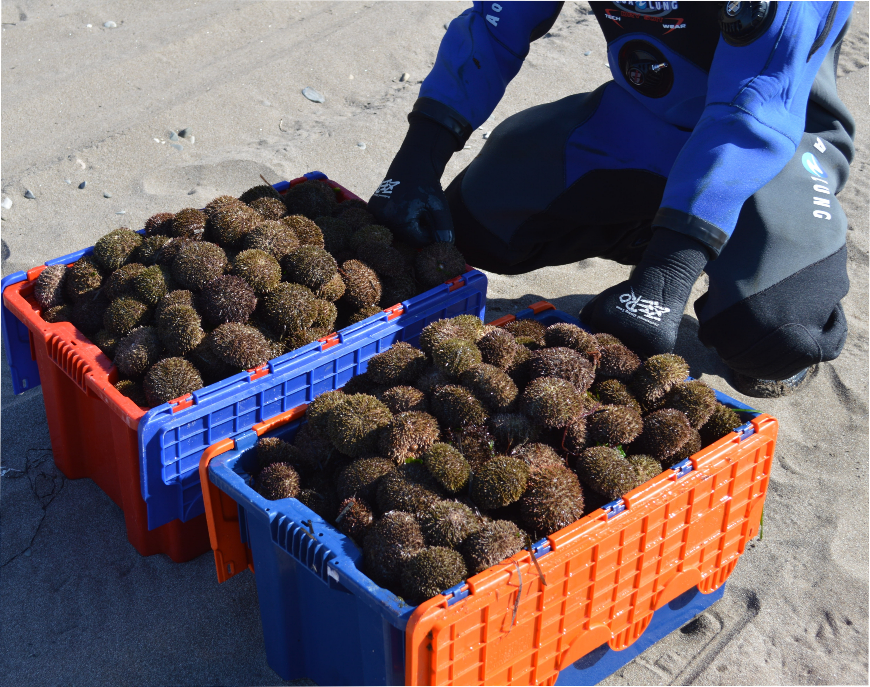ExtractionProfessional divers catch sea urchin at a depth of more than 2 meters