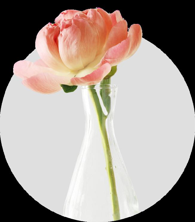 Peony PeachyОчень эффектный и редкий сорт. Гибрид. Полумахровый – махровый. Цветок диаметром 18-20 см., персикового цвета, со светло-желтым центром, сформирован в виде широкой чаши. Среднераннего срока цветения. Листва насыщенно– зеленого цвета, кожистая. Куст высотой 80 см.
